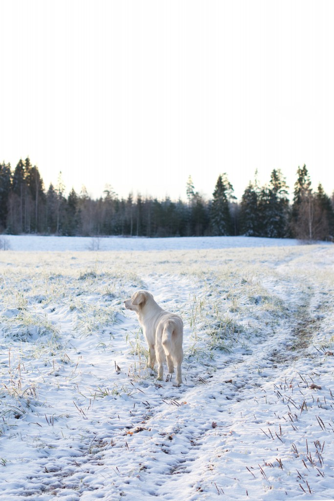 Golden Retriever i snö | HungryHeart.se