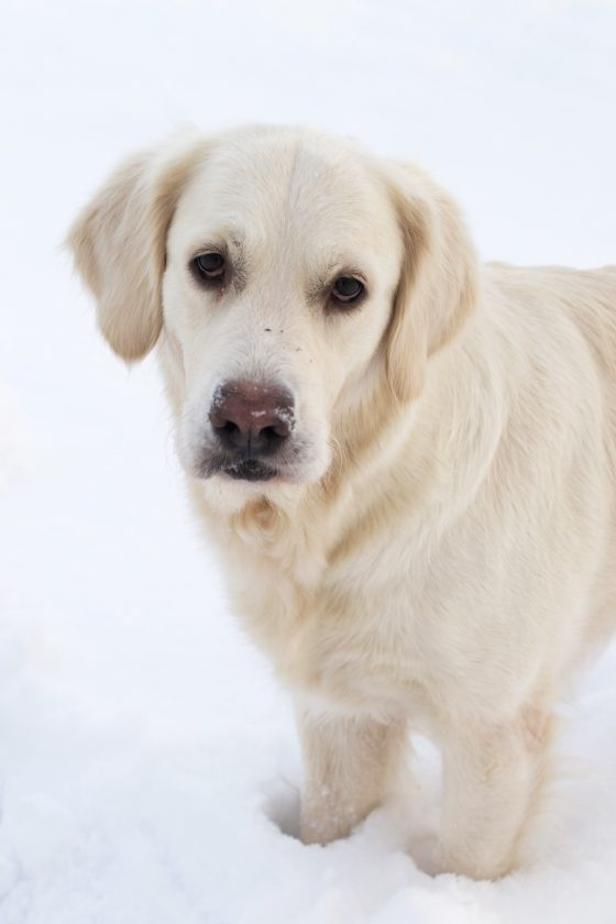 Golden Retriever in snow | Hungry Heart
