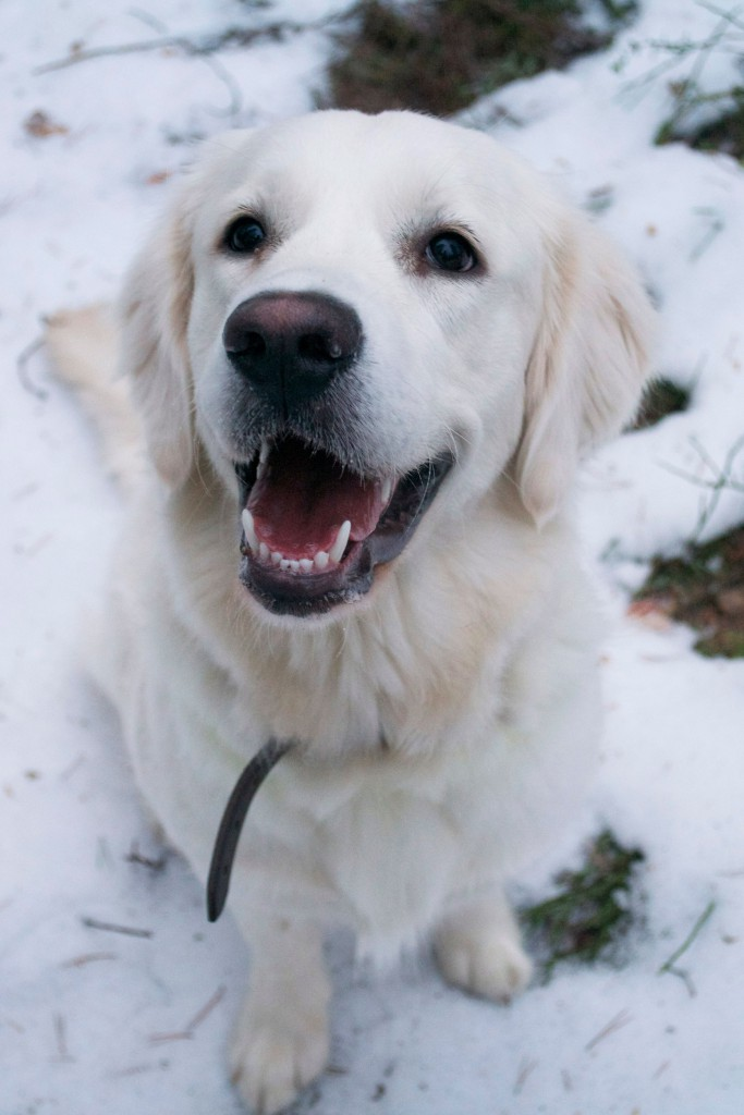 Golden retriever | HungryHeart.se