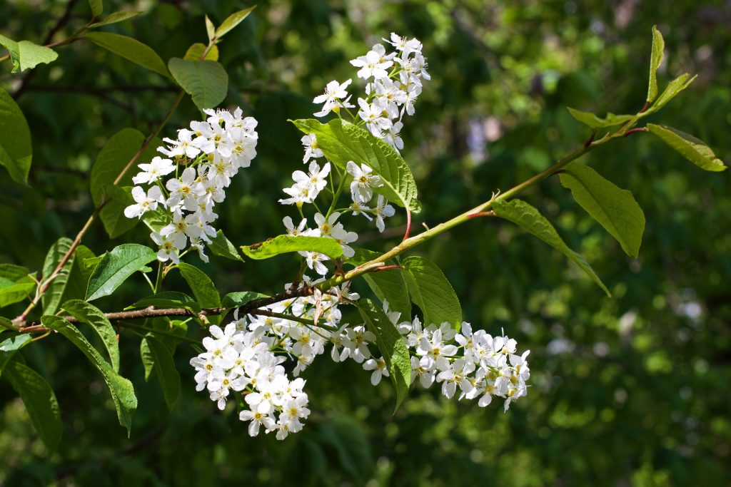 Bird Cherry Flowers | HungryHeart.se
