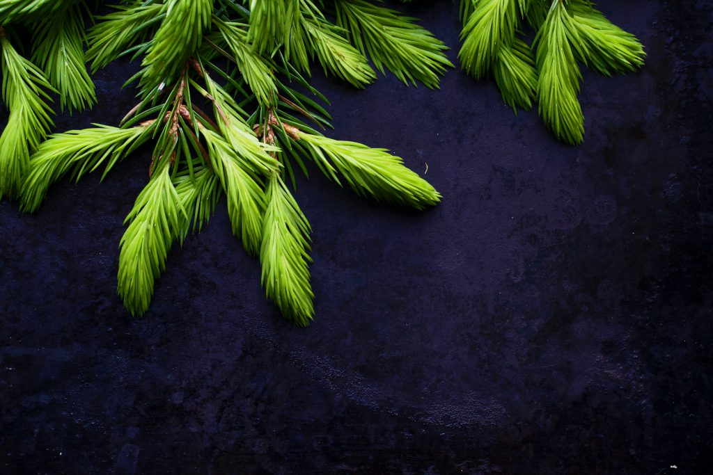 Spruce Tips | Hungry Heart
