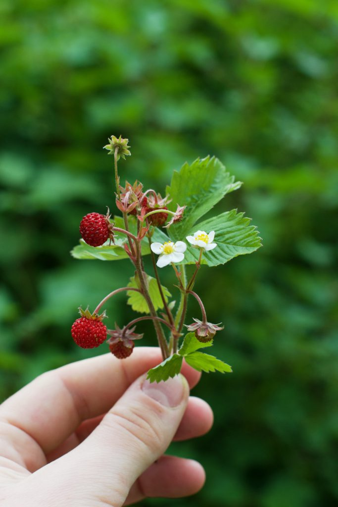 Wild Strawberries | HungryHeart.se