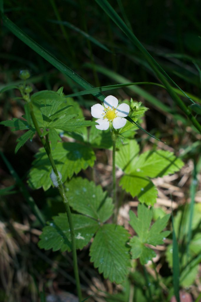 Wild Strawberry Plant | HungryHeart.se