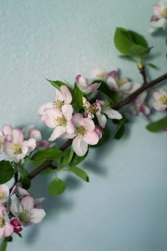 Apple Blossoms | HungryHeart.se