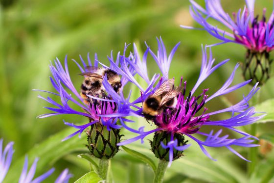 Bumblebees and Cornflower | HungryHeart.se